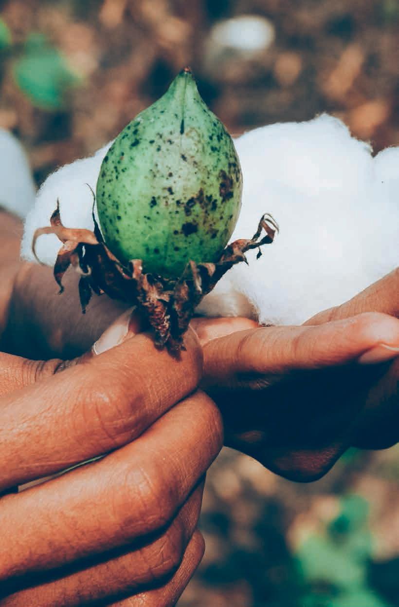 Fleur de coton issue d'une agriculture biologique