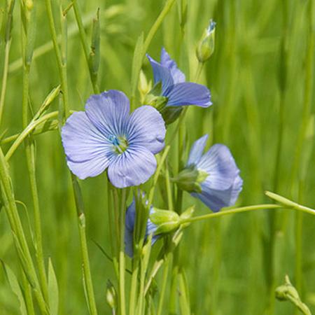 Fleur de Lin issue d'une culture biologique